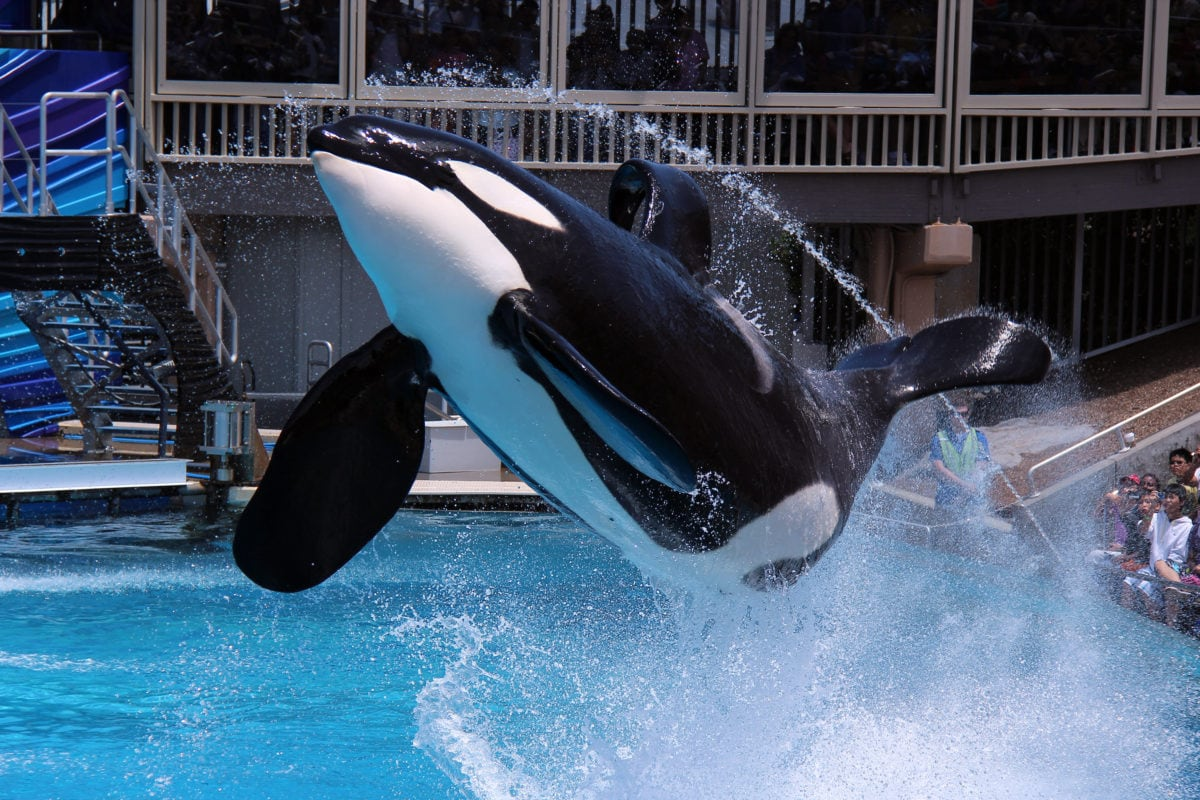 killer whale sea world