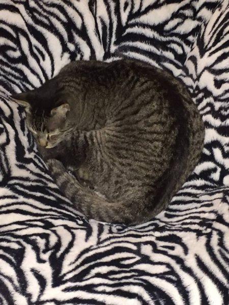 Oliver shelter pet