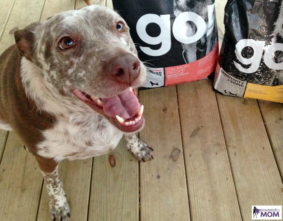heeler-pit-mix-with-petcurean-sensitivity-plus-shine-go-dog-food-7