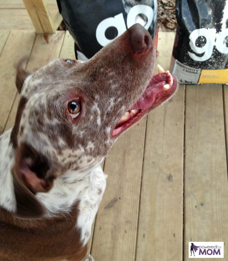 heeler-pit-mix-with-petcurean-sensitivity-plus-shine-go-dog-food