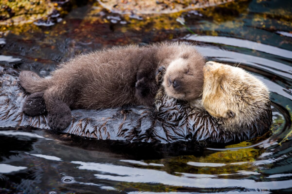 A wild sea otter mom and pup resting in the Great Tide Pool at Monterey Bay Aquarium. ©Monterey Bay Aquarium