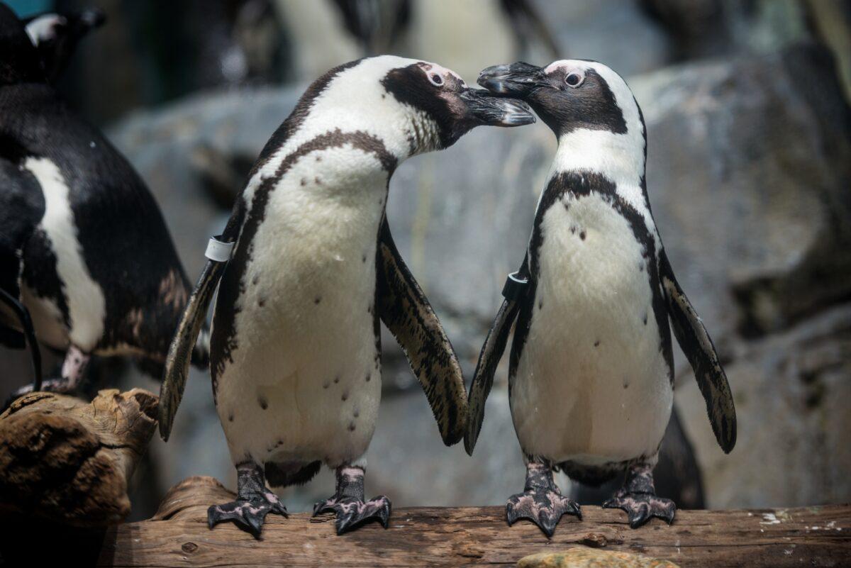 African penguins on exhibit in the Splash Zone. ©Monterey Bay Aquarium