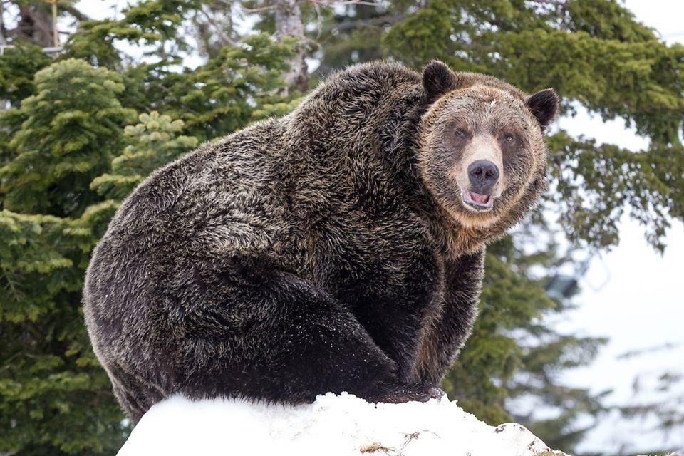 grouse mountain bear cam
