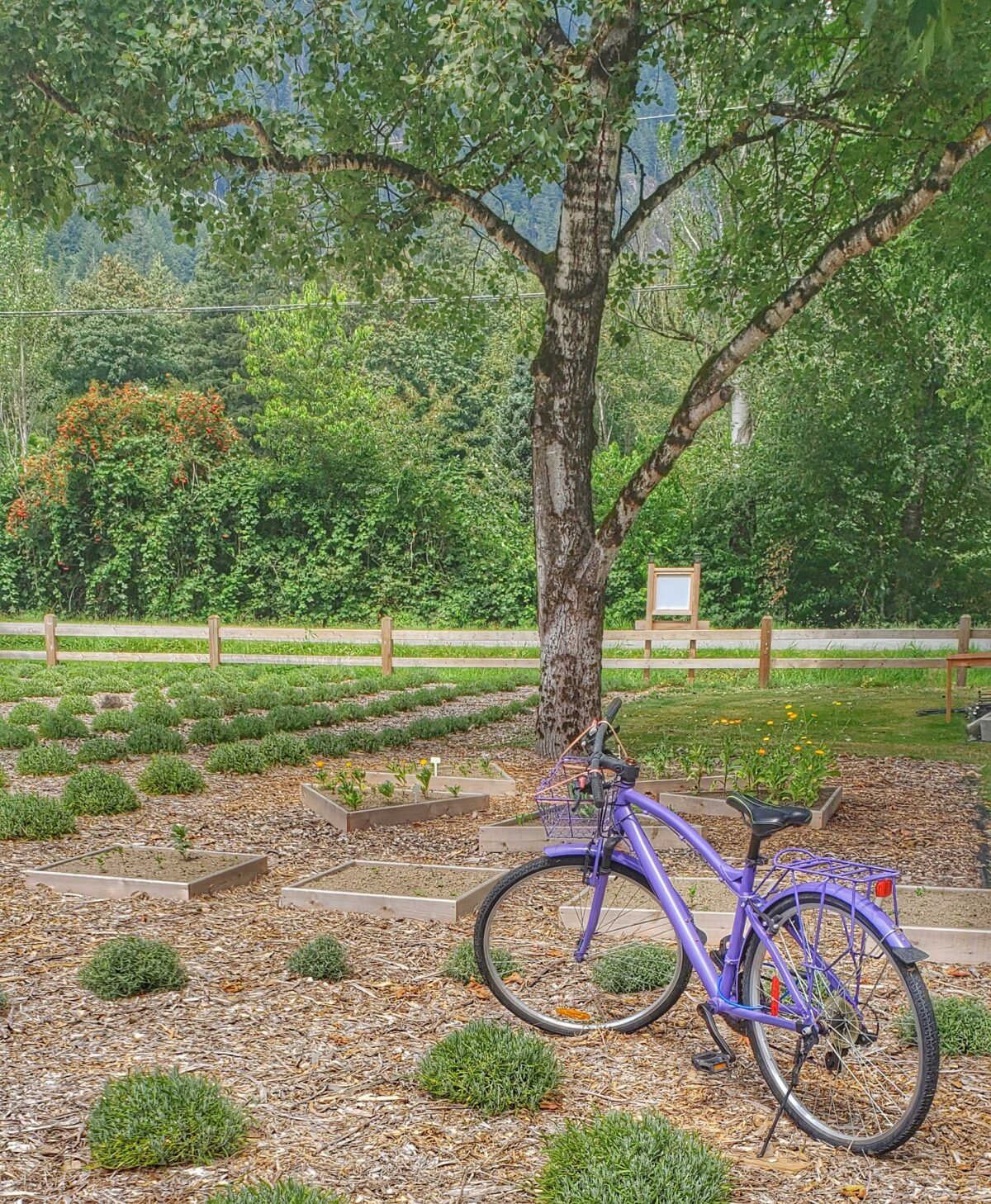 harrison lavender purple bike
