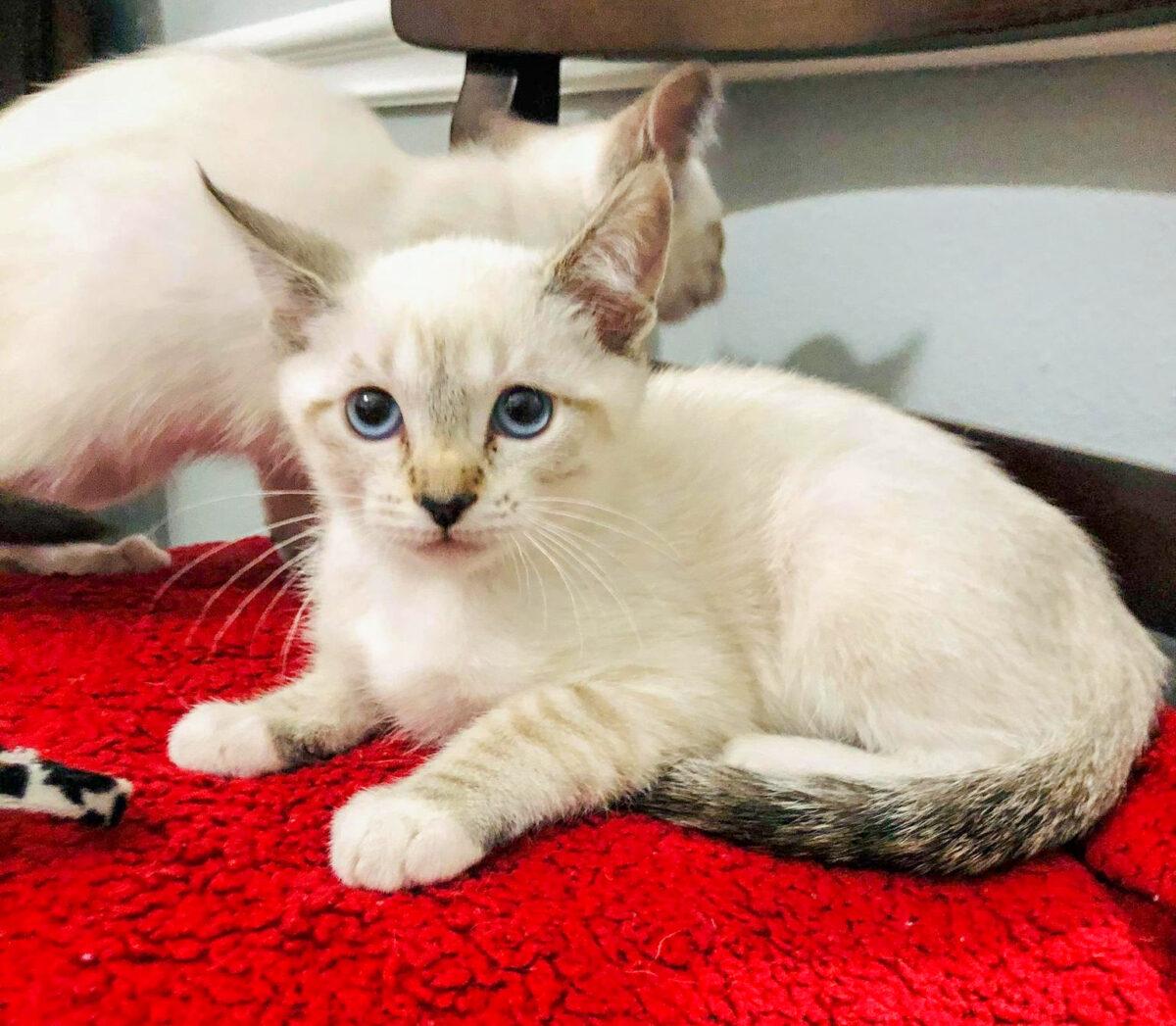local pet rescue kitten