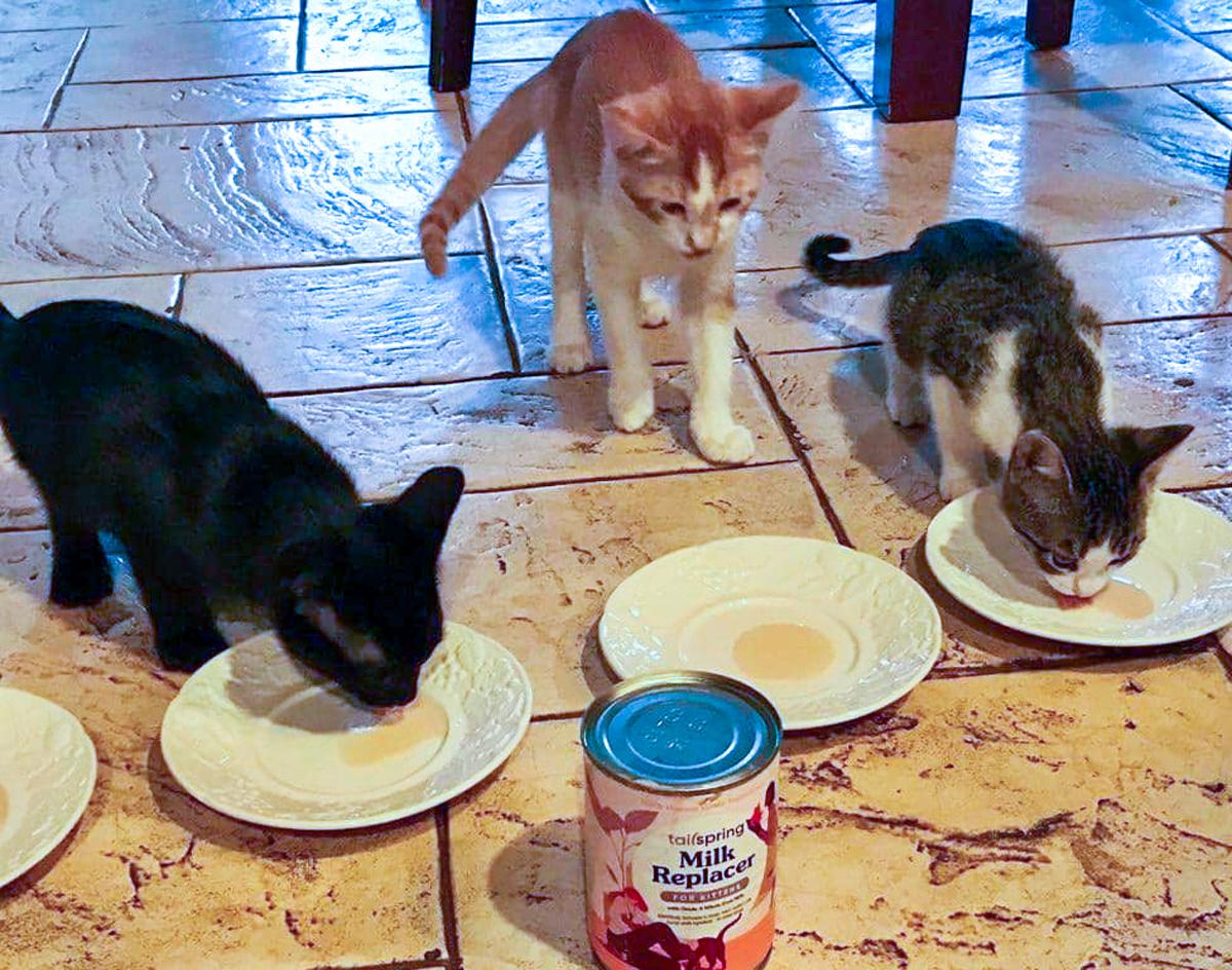kittens drinking milk replacement