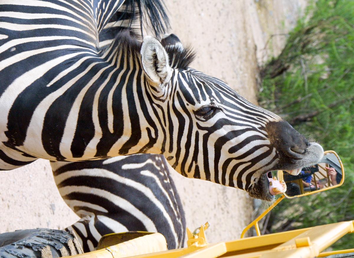 zebra asking for treats at wildlife reserve