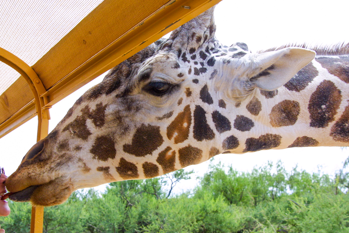 Giraffe poking his head into the tour bus at Out of Africa Preserve